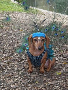 Rarely seen in the wild… the Peacock Dachshund. I know mine are tired of dressing up as the proverbial hot dog every year! Cute Puppies, Cute Dogs, Dogs And Puppies, Baby Dogs, Dachshund Costume, Funny Animals, Cute Animals, Sweet Dogs, Dachshund Love
