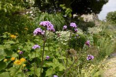 Verbena bonariensis - Week commencing 11.07.16