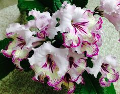 Streptocarpus 'Gina' by Piotr Kleszczynski of Poland.  A real beauty!  I lost my original plant to mites but now I have several healthy young plants from leaf babies.