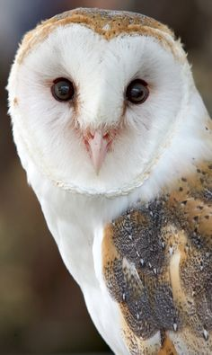 Beautiful Barn Owl / year round Saw two babies and the momma, flying past as I was coming home one night, precious:)