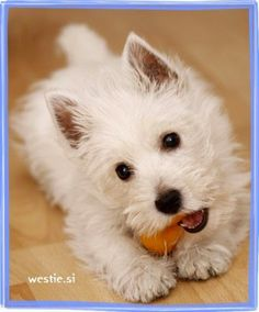 westie puppy tuyos kind of faces can kill me Westie Puppies, Westies, Cute Puppies, Cute Dogs, Dogs And Puppies, Doggies, Chihuahua Dogs, Bichons, West Highland Terrier