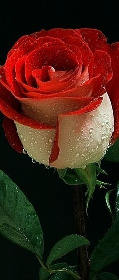 Morning Dew on cream and red rose