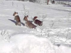 These cute Corgi puppies hop like bunnies in the snow