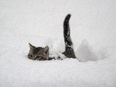 @Regulr_size 雪の中を一生懸命に進むネコ on Twitpic