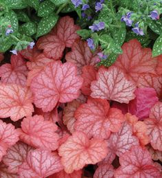 Heuchera Hybrids | November 2013 eNewsletter