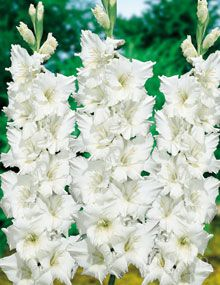 Innocence American Hybrid Gladiolus.  Website says gladioulus deer resistant.  Look into this.