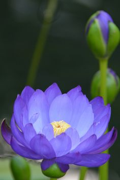 Water-Lily: Nymphaea [Family: Nymphaeaceae], Princess of Wales Conservatory, Kew Gardens - Flickr - Photo Sharing!