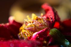 Macro Photography of a red rose