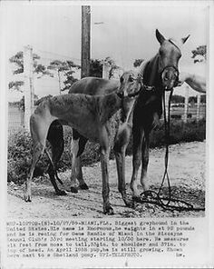 1959 Biggest Greyhound dog in United States called Enormous. Press Photo
