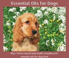 Information on safe essential oils for dogs - which essential oils are safe and useful for dogs; & what healing effects these essential oils have on dogs.
