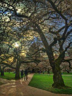 UW Cherry Blossoms | Spring 2014 (Photo by Sharon Borja)