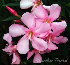 Flores de la Adela (Nerium oleander), una de las plantas más venenosas del mundo