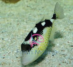 Starry Trigger Abalistes Stellatus Starry Triggerfish Fish