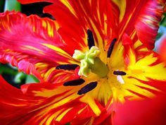 who doesn't love a parrot tulip?