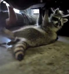 WHAT IN THE WORLD?!?! This Racoon Mechanic Knows His Way Around A Car!  Hit the image to watch...  #cleverracoon