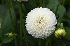If your garden looks tired at the end of the season, but your neighbors' is full of color and texture, chances are they may be growing dahlias. Dahlias bloom from mid summer until frost, and. River Rock Landscaping, Landscaping With Rocks, Landscaping Tips, Growing Dahlias, Growing Plants, Summer Flowers, Cut Flowers, Iris Flowers, Shade Garden Plants