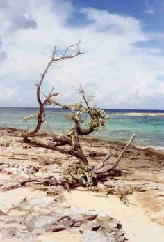 Gnarly Tree on Grand Bahama Island Tanning Salons, Finding Peace, Cacti, Driftwood, Adventure Travel, Beaches, Caribbean, Photo Galleries, Trees