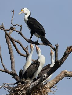Pied Cormorant Family by Michael Cleary on 500px