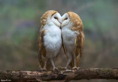 A pair of barn owls have a tender moment before snuggling together in the fork of a tree...