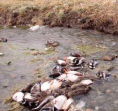 Altra morìa di animali in Cina, questa volta le anatre