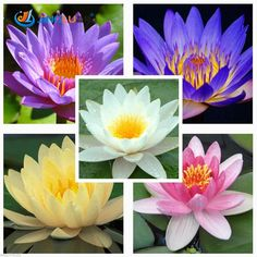 Water Lily Seeds, Potted Seed, Water Lily Flower Seed Garden Plants, Perennial Planting - 5 Seeds #clothing,#shoes,#jewelry,#women,#men,#hats,#watches,#belts,#fashion,#style