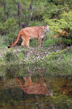 Cougar (Puma concolor), also known as the mountain lion, puma, panther, mountain cat,or catamount, is a large cat of the family Felidae native to the Americas. http://en.wikipedia.org/wiki/Cougar