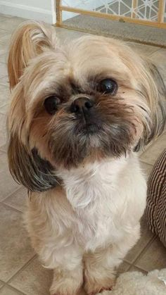 Everything About Fun Shih Tzu Health #shihtzuswag #shitzubrasiliansdogs #shihtzupuppy