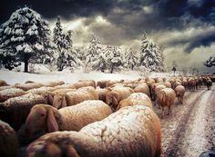 Neve, pecore, abruzzo Cartolina di Buon Natale