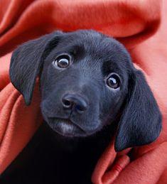 Cute Little Puppies, Puppy Love, Cute Dogs, Diamond Dogs, Labrador Retriever, Anime, Manga, Heart, Beautiful