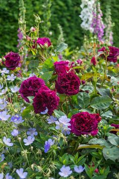English Roses Rosa 'Munstead Wood' with Geranium. Again a deeply saturated rose with a light, airy geranium. Possibly 'Johnson's Blue'? Rosas David Austin, Beautiful Gardens, Beautiful Flowers, Rosen Beet, Coming Up Roses, Garden Shrubs, Garden Borders, My Secret Garden, Dream Garden