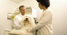¿Qué hace un asistente veterinario?. Los asistentes veterinarios juegan un papel activo en cualquier práctica veterinaria. Con responsabilidades que van desde el cuidado de los animales, administración de oficina y comunicación con los clientes, los asistentes veterinarios se mantienen ocupados manejando varias responsabilidades para la práctica.