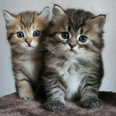 Videos Of Cute Animals That Can Kill You under Cute Kittens For Sale Rspca another Cute And Funny Baby Animals Videos Cute Baby Cats, Cute Cat Gif, Cute Kittens, Cute Cats And Kittens, Cute Baby Animals, Ragdoll Kittens, Wild Animals, Beautiful Kittens, Pretty Cats
