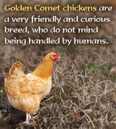 The Golden Comet chicken breed is one of the most popular 'beginner varieties' for first-time owners. These small-sized chickens are one of the best egg-laying breeds available. Here's some interesting information about the Golden Comet chicken breed. Backyard Chicken Coops, Chicken Coop Plans, Building A Chicken Coop, Diy Chicken Coop, Chickens Backyard, Chicken Life, Fresh Chicken, Chicken Runs, Urban Chickens