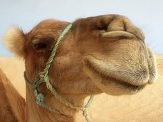 camel - Yahoo Image Search Results