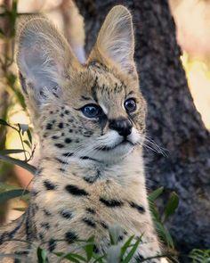 Kamari the serval kitten is melting hearts left and right at the San Diego Zoo. Kittens Cutest, Cats And Kittens, Cute Cats, Small Wild Cats, Big Cats, Beautiful Cats, Animals Beautiful, Savanna Cat, Serval Kitten