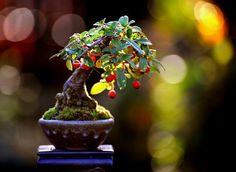 Hang your Apples Bonsai