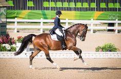 Bay Horse Dressage Canter Stallion Gelding Mare