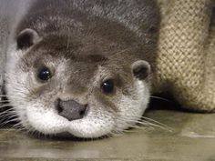 Today is World Otter Day, a day designated by the International Otter  Survival Fund to raise awareness to their work protecting, conserving, and  caring for otters everywhere! Events are being held at the Audobon Zoo in  New Orleans; the Waterlooville Library in Portsmouth, U.K.; and at six  aq