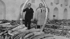 Circa 1935: Ivory experts holding two elephant tusks, at the London Dock warehouse