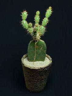Grafted Cactus, Cactus Plants, Labrynth, Vase, Surat Thani, Instagram Posts, Frankenstein, Unique, Tall Cactus