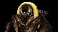 The Trump Administration Is Getting Sued Over This Bee: The rusty patched bumble bee pollinates tomatoes apples and other foods. Now a conservation group is suing the government for delaying the bee's inclusion on the Endangered Species List. http://ift.tt/2lkn1jv #TimBeta