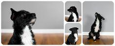 Wire Hair Terrior, Black and White Tuxedo Dog, Hound Dog Studios, Colorado Dog Pictures  http://hound-dog-studios.com/arvada-dog-pictures-wired-hair-terrior-photos-vernon/
