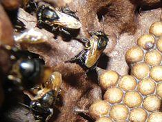 Néctar de Abelhas Nativas Sateré-Mawé Néctar de Abelhas Nativas (Foto: Roberta Sá)