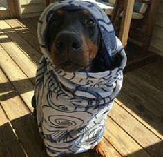Most Doberman's don't like the cold