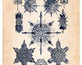 Sea Plankton Algae 21 Illustration Wall Decor Print 8 x 10 (sdl021)