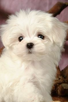 White puppies are so adorable!