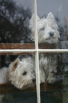 Westies stare intently out their window.