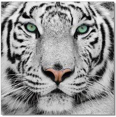 J&M Furniture Premium Acrylic Wall Art Black & White Tiger-SB-61099 SKU18189