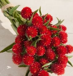 Gomphrena 'Strawberry Fields'   50 seeds/$3.95   Summer-Fall   85-100 days to bloom   start indoors