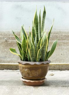 snake plant variegated plants green foliage plants leaves cute pots for plants plants at home living with plants air purifying house plants clean air plants plants healthy air air purifier houseplants Common House Plants, Easy House Plants, Perfect Plants, Cool Plants, Water Plants, Unusual Plants, Air Cleaning Plants, Mother In Law Tongue, Decoration Plante
